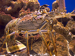 Crayfish 6.4.jpg
