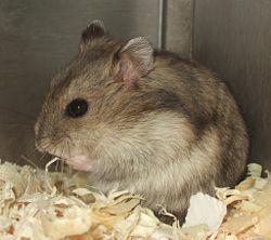 Russian Dwarf Hamster.jpg