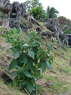 06316-Nicotiana-tabacum.jpg