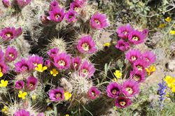 Flowering-barrel-cacti-with-other-wildflowers-in-desert-725x482.jpg