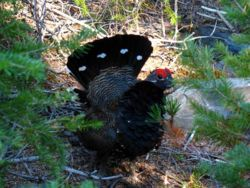 Spruce grouse with red white and black plumage.jpg
