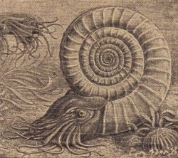 Ammonite drawing.jpg