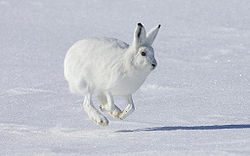 Arctic hare running.jpg