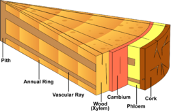 Stem cross section diagram.png