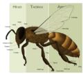 HoneyBeeAnatomy.png