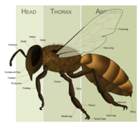 Bee - CreationWiki, the encyclopedia of creation science