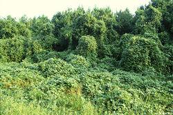 Pueraria montana var. lobata.jpg