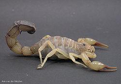 Fattail scorpion.jpg