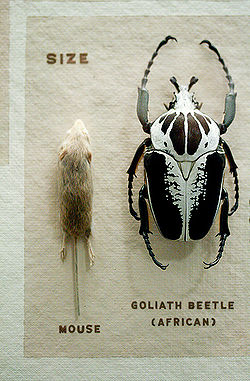 Goliath beetle and mouse.jpg