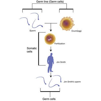 Somatic cells.jpg