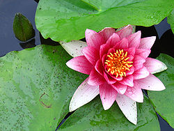 Water lily (Nymphaea).jpg