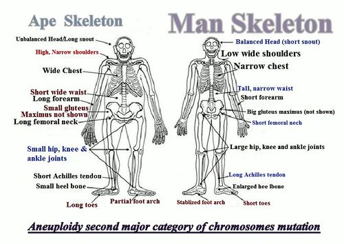 ape is a punished man - creationwiki, the encyclopedia of creation, Skeleton