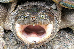 Angry Snapping Turtle.jpg