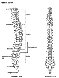 vertebral column - creationwiki, the encyclopedia of creation science, Human Body