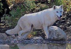 Alaskan Tundra Wolf.jpg