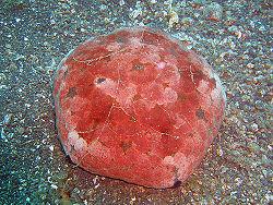 Culcita Starfish1.jpg