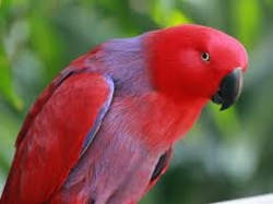 Red parrot.png