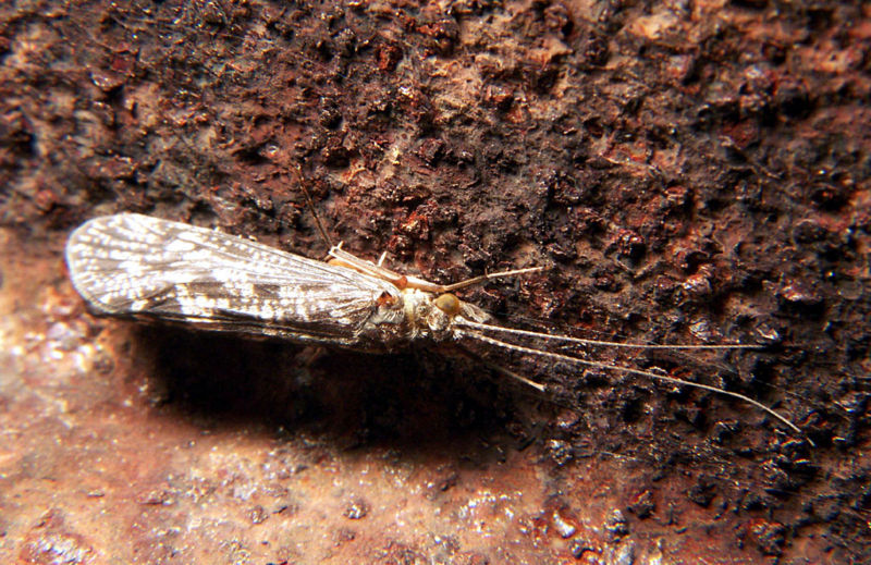 File:Caddisfly.jpg