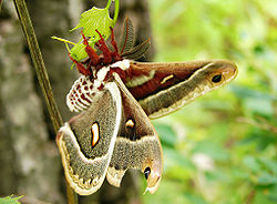 Columbia Silk Moth.jpg