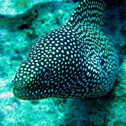 Spotted eel.jpg