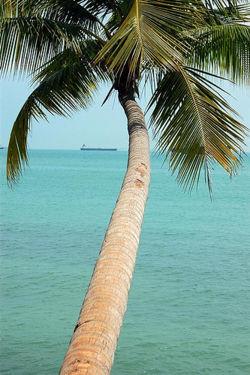 Cocnut tree.jpg
