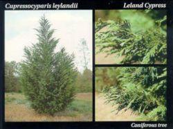 Leland Cypress.JPG