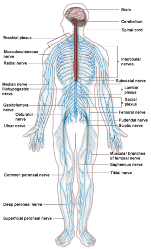 human circulatory system worksheet. The nervous system is a