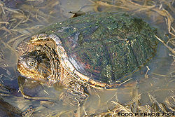 Snapping Turtle in Murky Water.jpg