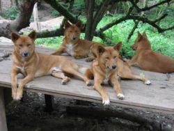 Dingo Creationwiki The Encyclopedia Of Creation Science