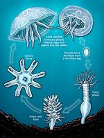 Australian spotted jellyfish creationwiki the encyclopedia of shows the life cycle of a typical jellyfish including the australian spotted jellyfish ccuart Gallery