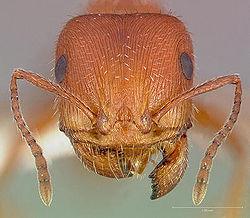 Maricopa harvester ant head.jpg