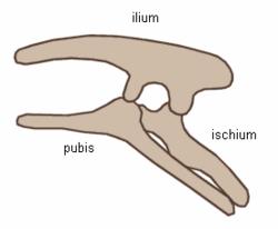 Ornithischia pelvis.png