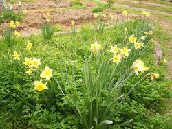 Daffodli.jpg
