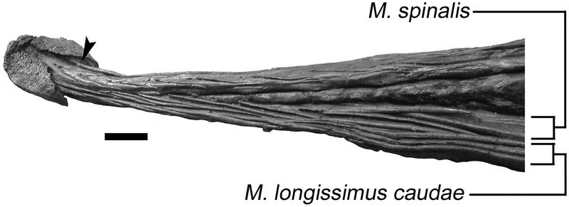 File:Ankylosaurus club tail.png