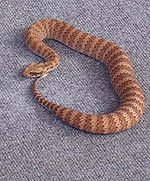 Death adder lying on the carpet.jpg