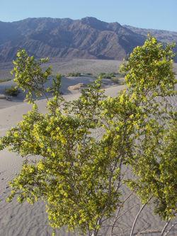 Creosote Bush Death Valley.jpg