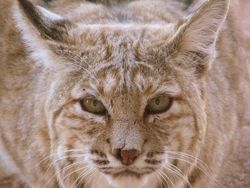 Bobcat looking directly stright.jpg