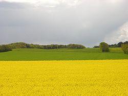 Mustard field.jpg