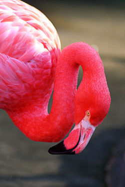 Carribean Flamingo.jpg