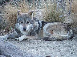 Mexican Wolf.jpg