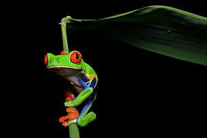 Redeyedfrog.jpg