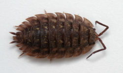 Woodlouse.jpg
