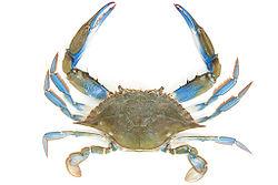 Callinectes sapidus (crab).jpg