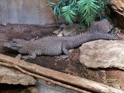 Dwarf crocodile1.jpg