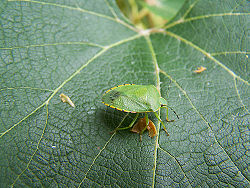 Hilare - Green Stink Bug.jpg
