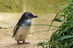 Little Penguin-Sydney.jpg