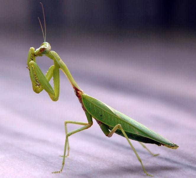 File:Praying mantis.jpg