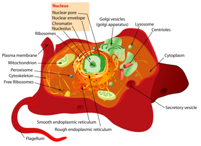 Animal cell anatomy.png