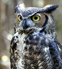 Great horned owl awsome pic.jpg