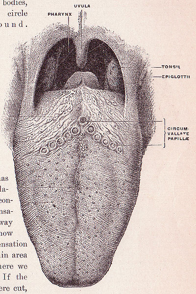File:Tongue anatomy.jpg